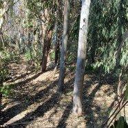 Bosque de Eucaliptus